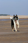 rennender Border Collie / running Border Collie