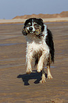 spielender Border Collie / playing Border Collie
