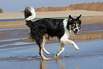 rennender Border Collie am Strand / running Border Collie at beach