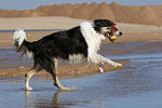 spielender Border Collie am Strand / playing Border Collie at beach