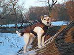 Parson Russell Terrier im Schnee / prt in PRT