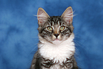 Norwegisches Waldk�tzchen Portrait / Norwegian Forestcat kitten portrait
