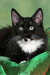 liegendes Norwegisches Waldk�tzchen / lying Norwegian Forestcat kitten