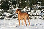 Rhodesian Ridgeback im Schnee / Rhodesian Ridgeback in snow