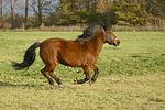 Isl�nder / icelandic horse