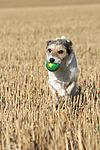 spielender Parson Russell Terrier / playing PRT
