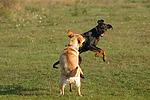 Labrador Retriever und Dobermann / Labrador Retriever und Doberman Pinscher
