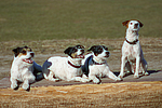 Jack und Parson Russell Terrier / Jack and Parson Russell Terrier