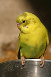 Wellensittich / budgie
