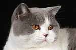 Britisch Kurzhaar / british shorthair