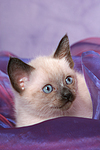 liegendes Thai K�tzchen / lying thai kitten