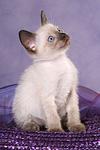 sitzendes Thai K�tzchen / sitting thai kitten