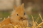 L�wenk�pfchen / lion-headed bunny