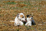 American Staffordshire Terrier & Parson Russell Terrier