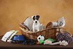 Parson Russell Terrier Welpe mit Welpenausstattung / PRT puppy