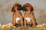 Rhodesian Ridgeback Welpen / rhodesian ridgeback puppies
