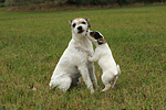 2 Parson Russell Terrier