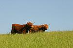 Schottische Hochlandrinder / highland cattles