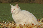 Hauskatze im Stroh / domestic cat in straw