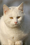 wei�e Hauskatze / white domestic cat
