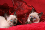 2 Thai K�tzchen / 2 thai kitten