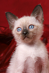 Thai K�tzchen / thai kitten