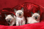 3 Thai K�tzchen / 3 thai kitten