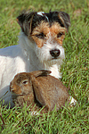 Parson Russell Terrier und Widderkaninchen / prt and lop-eared bunny