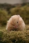 Teddyhamster putzt sich / hamster is preening itself