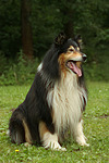 sitzender Langhaarcollie / sitting longhaired collie
