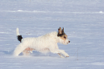 Parson Russell Terrier rennt durch den Schnee / prt running through snow