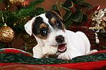 Parson Russell Terrier Welpe zu Weihnachten / PRT puppy at christmas