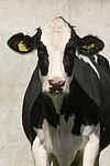 Rind Portrait / cattle portrait