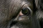 Rind Auge / cattle eye