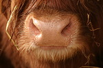 Schottisches Hochlandrind Maul / highland cattle mouth
