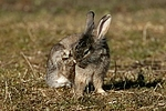 L�wenk�pfchen / lion-headed rabbit