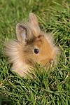 junges L�wenk�pfchen / young lion-headed rabbit