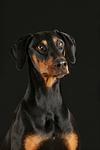 Dobermann Portrait / Doberman Pinscher Portrait