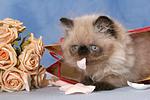Perser Colourpoint K�tzchen / persian colourpoint kitten