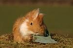 fressendes Meerschwein / eating guninea pig