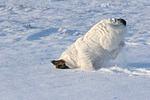Parson Russell Terrier rennt durch den Schnee / prt running through snow