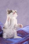 spielendes Maine Coon K�tzchen / playing maine coon kitten