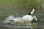 tauchender Parson Russell Terrier / diving PRT