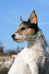 Parson Russell Terrier mit Stehohren / PRT portrait