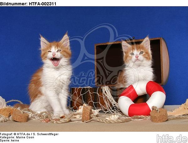 lustige tierfotos bild bilder maine coon k tzchen maine coon kitten foto fotos. Black Bedroom Furniture Sets. Home Design Ideas