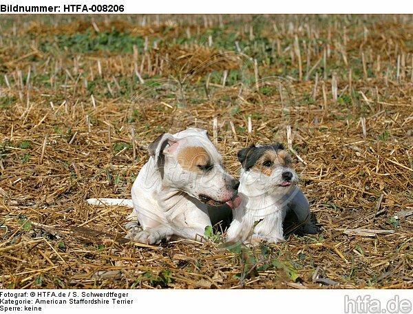 lustige tierfotos bild bilder american staffordshire terrier parson russell terrier foto. Black Bedroom Furniture Sets. Home Design Ideas