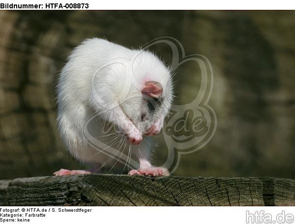 lustige tierfotos bild bilder farbratte putzt sich rat is preenig herself foto fotos. Black Bedroom Furniture Sets. Home Design Ideas