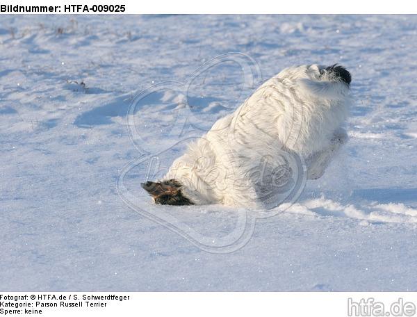 Parson Russell Terrier rennt durch den Schnee / prt running through snow / HTFA-009025