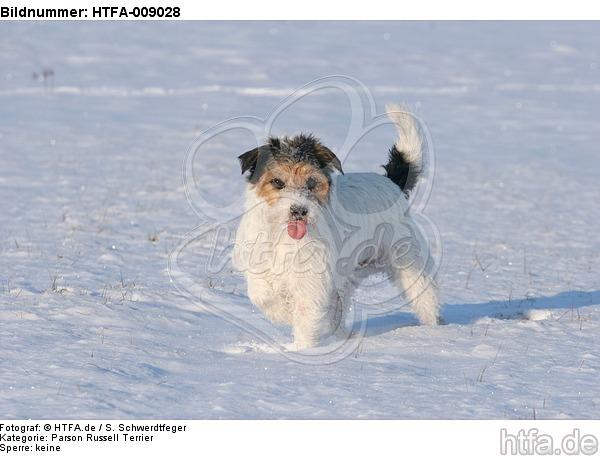 Parson Russell Terrier im Schnee / prt in snow / HTFA-009028