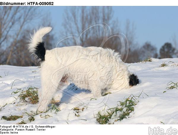 Parson Russell Terrier buddelt im Schnee / prt digging in snow / HTFA-009052